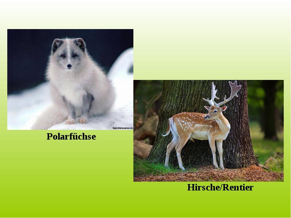 Polarfüchse Hirsche/Rentier