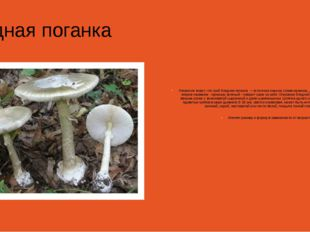 Бледная поганка Немногие знают, что гриб бледная поганка — в полном смысле с