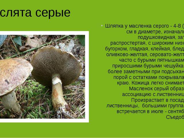 Маслята серые Шляпка у масленка серого - 4-8 (12) см в диаметре, изначально...