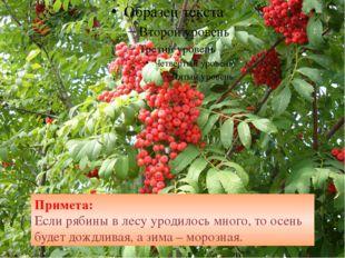 Примета: Если рябины в лесу уродилось много, то осень будет дождливая, а зим