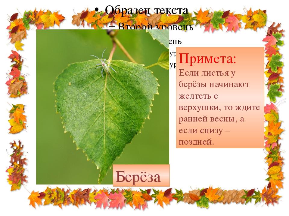Примета: Если листья у берёзы начинают желтеть с верхушки, то ждите ранней в...