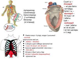 Сыртқы – Эпикард – жүрек бетін қаптайды. Ортаңғы – миокард – бұлшық ет қабаты
