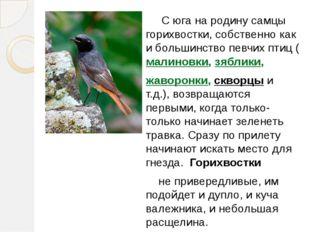 С юга на родину самцы горихвостки, собственно как и большинство певчих птиц