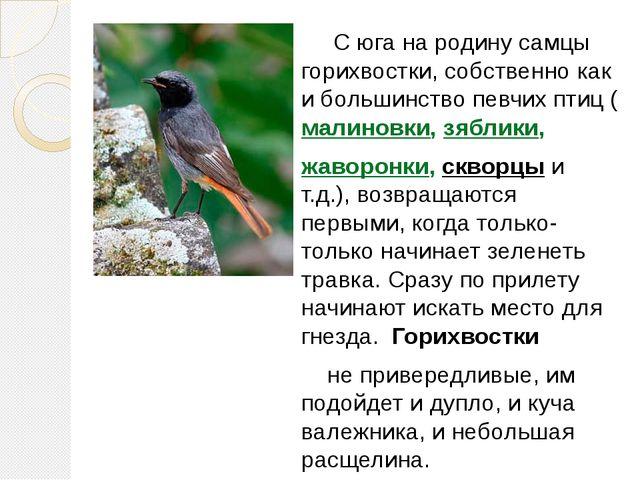 С юга на родину самцы горихвостки, собственно как и большинство певчих птиц...