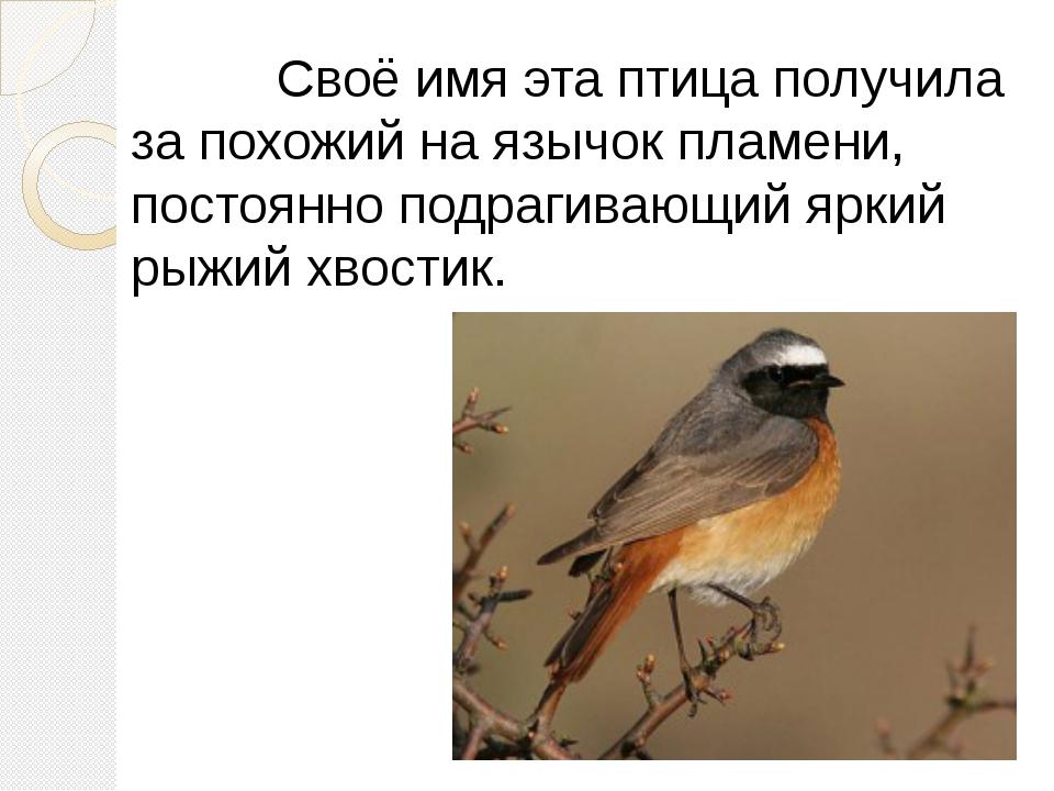 Своё имя эта птица получила за похожий на язычок пламени, постоянно подрагив...