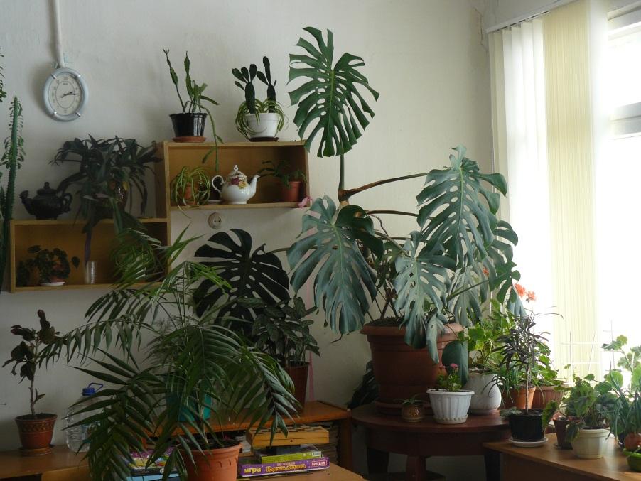 C:\Users\User\Desktop\Исследовательский проект Комнатные растения\Фото растений КСШ\P1040054.JPG