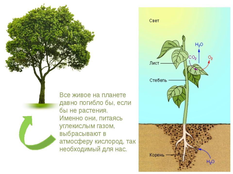Все живое на планете давно погибло бы, если бы не растения. Именно они, питая...