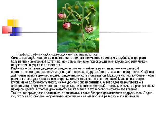 На фотографии - клубника мускусная (Fragaria moschata) Самое, пожалуй, главно...