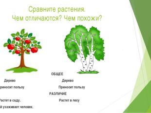 Сравните растения. Чем отличаются? Чем похожи? ОБЩЕЕ Дерево Дерево Приносит п