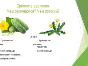 Сравните растения. Чем отличаются? Чем похожи? ОБЩЕЕ Травянистое Травянистое