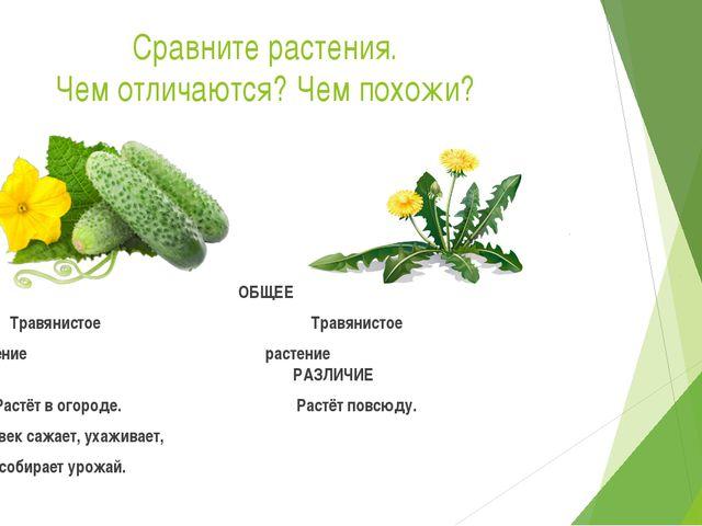 Сравните растения. Чем отличаются? Чем похожи? ОБЩЕЕ Травянистое Травянистое...