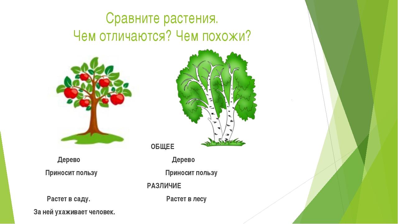 Сравните растения. Чем отличаются? Чем похожи? ОБЩЕЕ Дерево Дерево Приносит п...