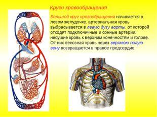 Круги кровообращения Большой круг кровообращения начинается в левом желудочке
