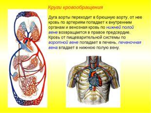 Круги кровообращения Дуга аорты переходит в брюшную аорту, от нее кровь по ар