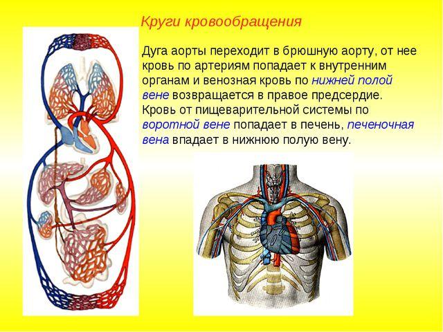 Круги кровообращения Дуга аорты переходит в брюшную аорту, от нее кровь по ар...