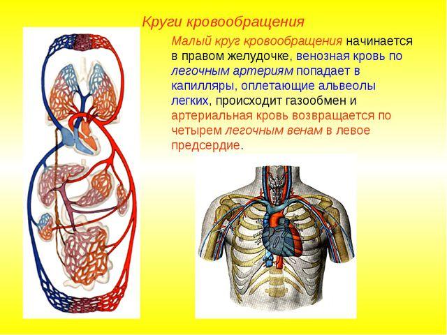 Круги кровообращения Малый круг кровообращения начинается в правом желудочке,...