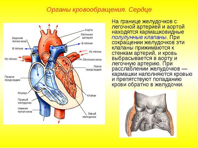 Органы кровообращения. Сердце На границе желудочков с легочной артерией и аор...