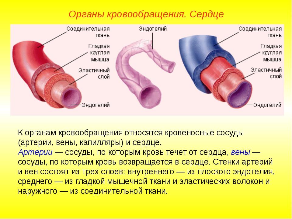Органы кровообращения. Сердце К органам кровообращения относятся кровеносные...