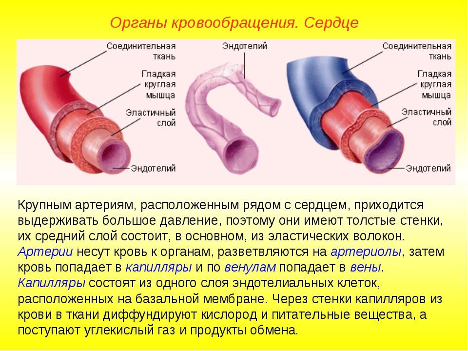 Органы кровообращения. Сердце Крупным артериям, расположенным рядом с сердцем...
