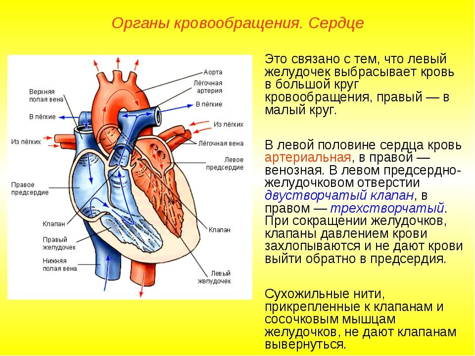 Органы кровообращения. Сердце Это связано с тем, что левый желудочек выбрасыв...