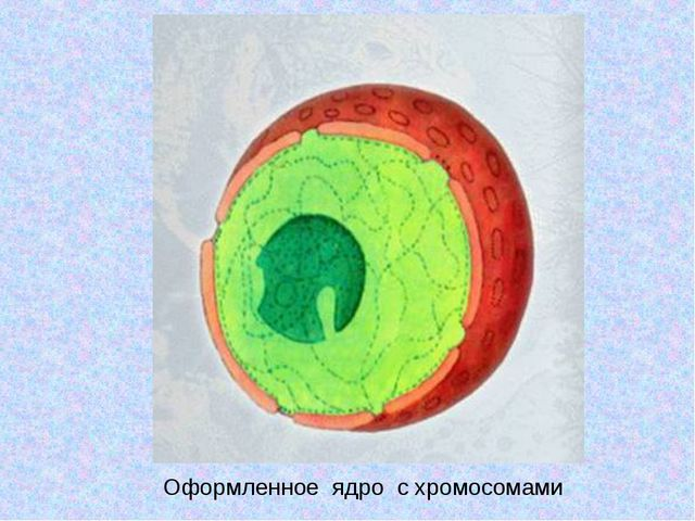 Оформленное ядро с хромосомами