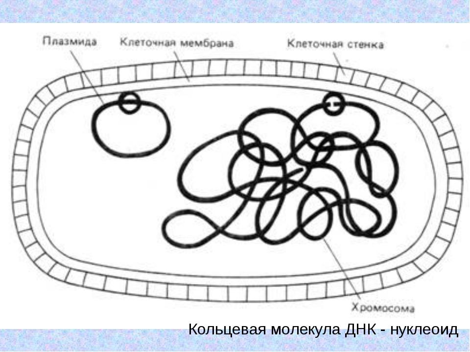 Кольцевая молекула ДНК - нуклеоид