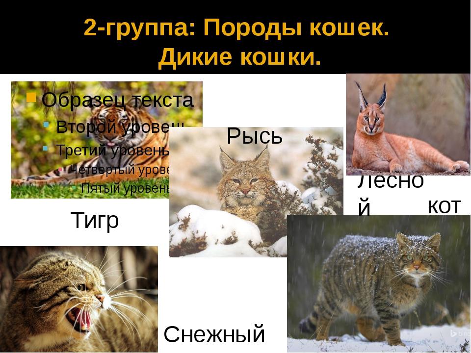 2-группа: Породы кошек. Дикие кошки. Рысь Тигр Снежный барс Лесной кот