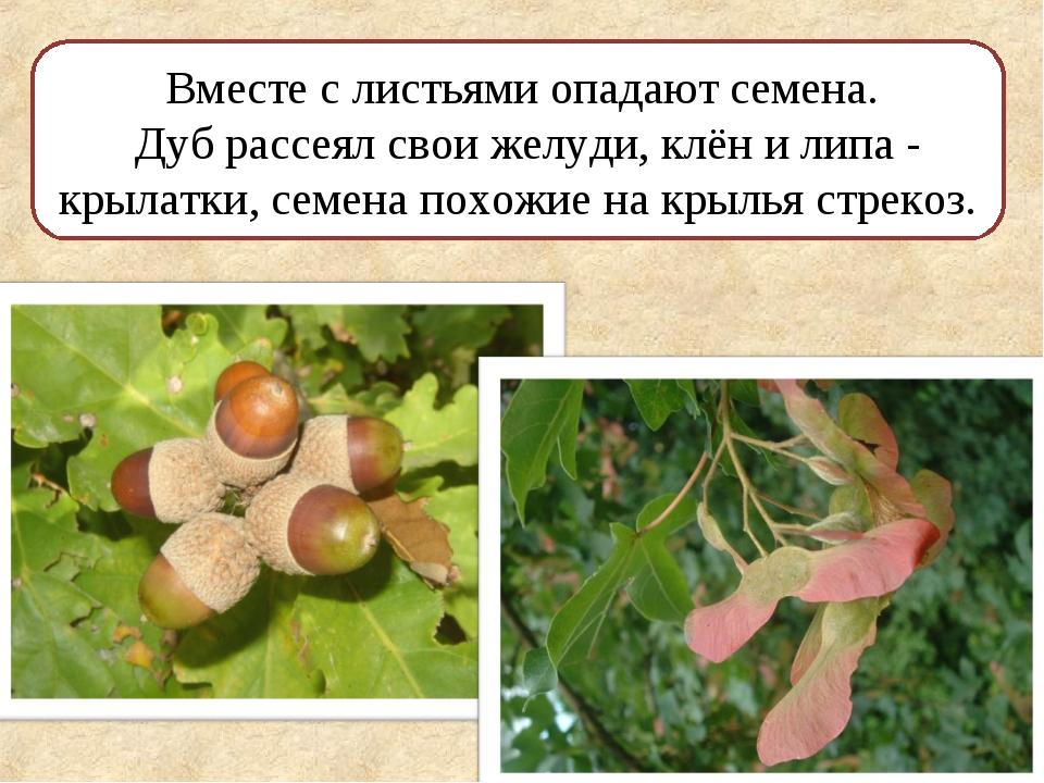 Вместе с листьями опадают семена. Дуб рассеял свои желуди, клён и липа - крыл...