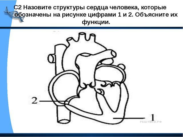 С2 Назовите структуры сердца человека, которые обозначены на рисунке цифрами...