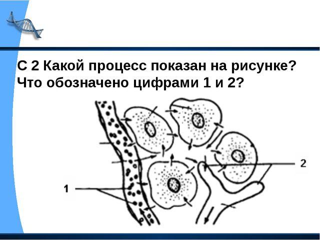С 2 Какой процесс показан на рисунке? Что обозначено цифрами 1 и 2?