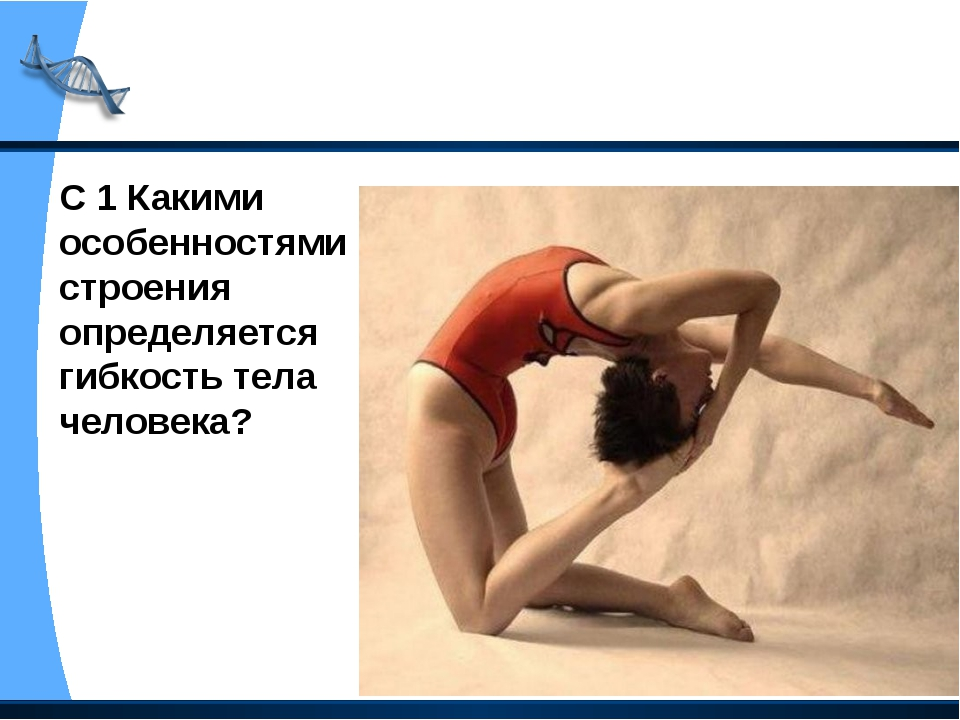 С 1 Какими особенностями строения определяется гибкость тела человека?
