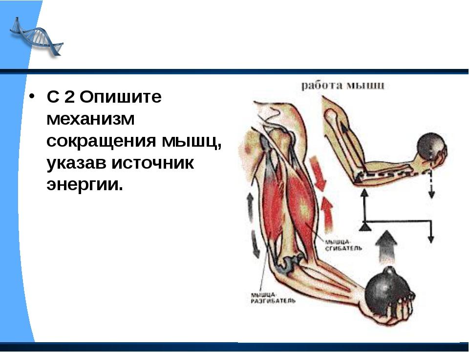 С 2 Опишите механизм сокращения мышц, указав источник энергии.