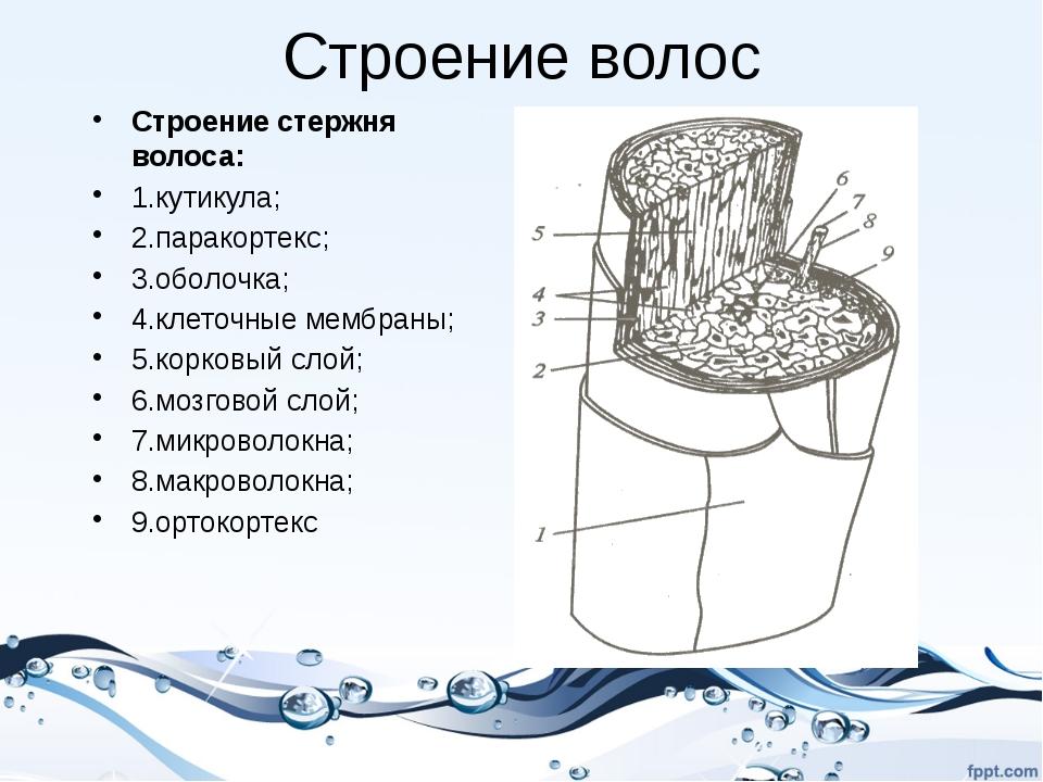 Строение волос Строение стержня волоса: 1.кутикула; 2.паракортекс; 3.оболочка...