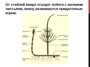 От стеблей вверх отходят побеги с мелкими листьями, внизу развиваются придат