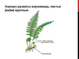 Хорошо развиты корневища, листья (вайи) крупные.