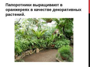 Папоротники выращивают в оранжереях в качестве декоративных растений.