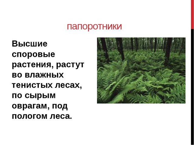 папоротники Высшие споровые растения, растут во влажных тенистых лесах, по сы...