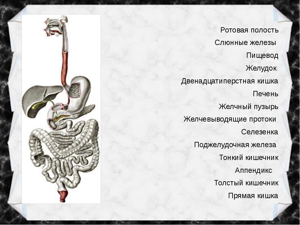 Ротовая полость Слюнные железы Пищевод Желудок Двенадцатиперстная кишка Печен...