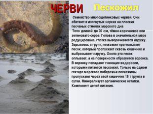 ЧЕРВИ Семейство многощетинковых червей. Они обитают в изогнутых норках на пл
