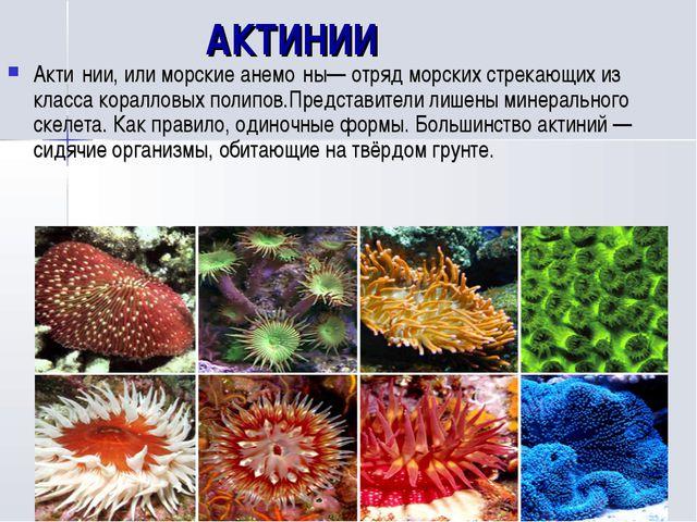АКТИНИИ Акти́нии, или морские анемо́ны— отряд морских стрекающих из класса к...