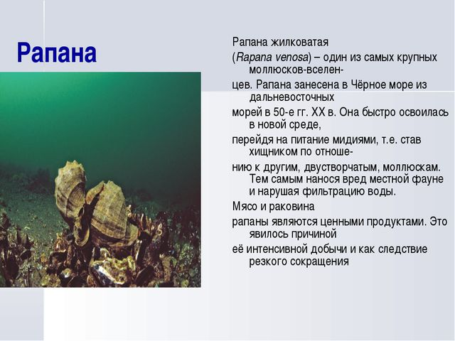 Рапана Рапана жилковатая (Rapana venosa) – один из самых крупных моллюсков-вс...
