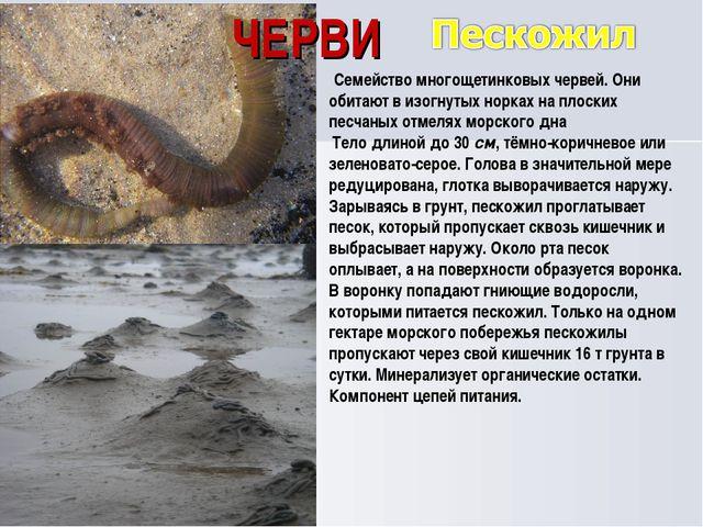 ЧЕРВИ Семейство многощетинковых червей. Они обитают в изогнутых норках на пл...