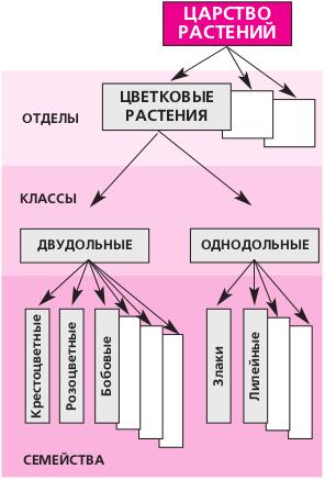Классификация растений (схема)