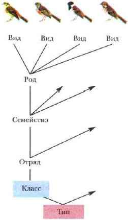 схема соподчинения различных таксонов - от вида до типа