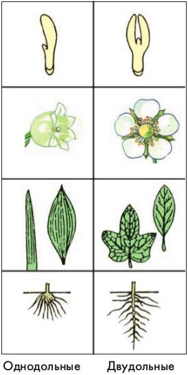 Основные признаки двудольных и однодольных растений