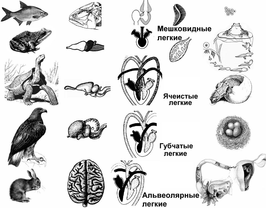 http://900igr.net/datai/biologija/Biologicheskij-progress/0007-011-Aromorfozy.png