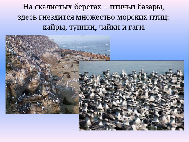 На скалистых берегах – птичьи базары, здесь гнездится множество морских птиц:...