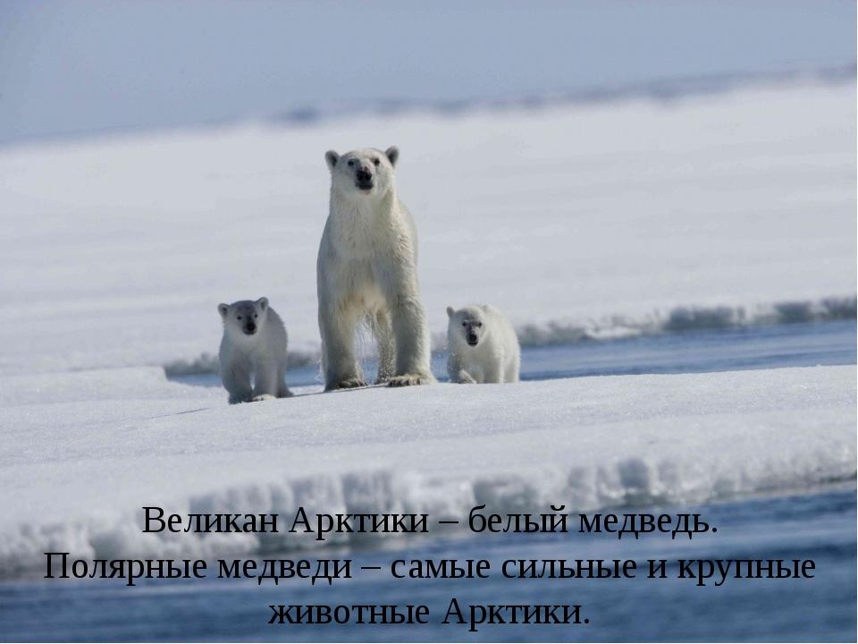 Великан Арктики – белый медведь. Полярные медведи – самые сильные и крупные...
