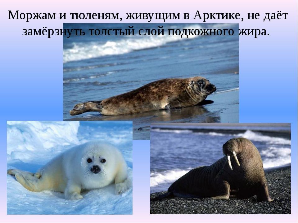 Моржам и тюленям, живущим в Арктике, не даёт замёрзнуть толстый слой подкожно...