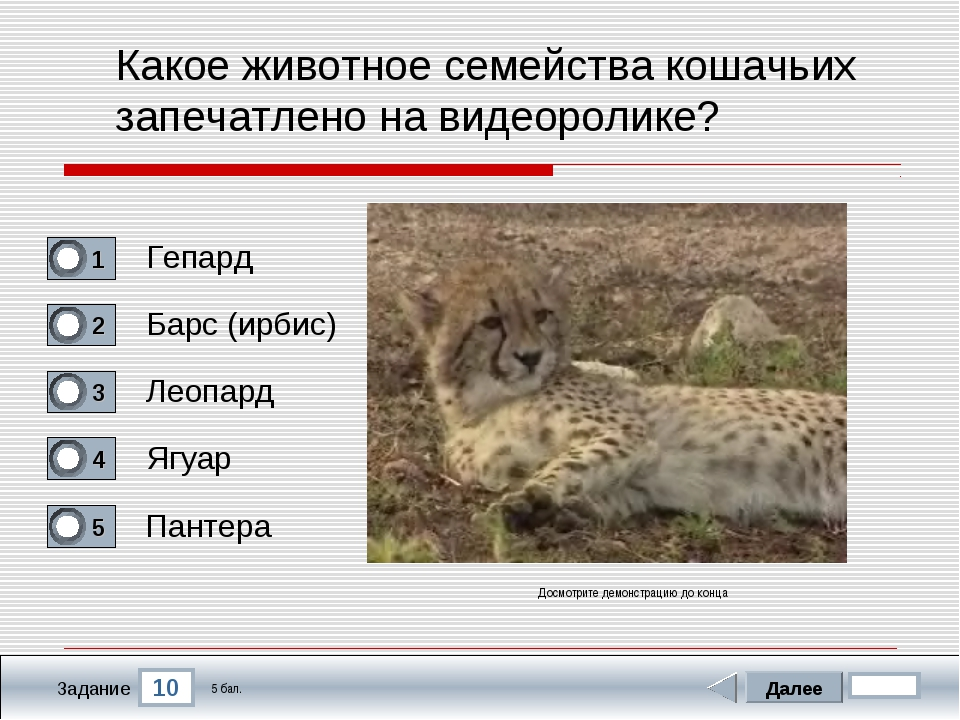 10 Задание Какое животное семейства кошачьих запечатлено на видеоролике? Гепа...